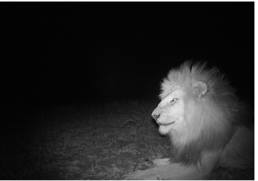 hakuna-madata-lion