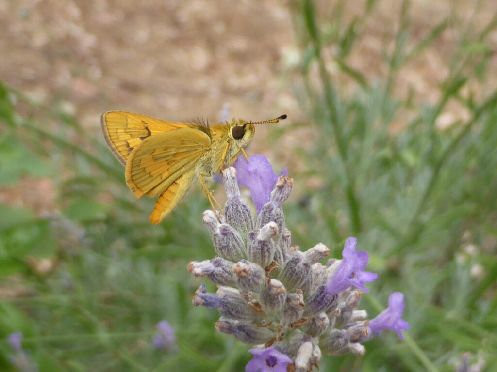moth-flower