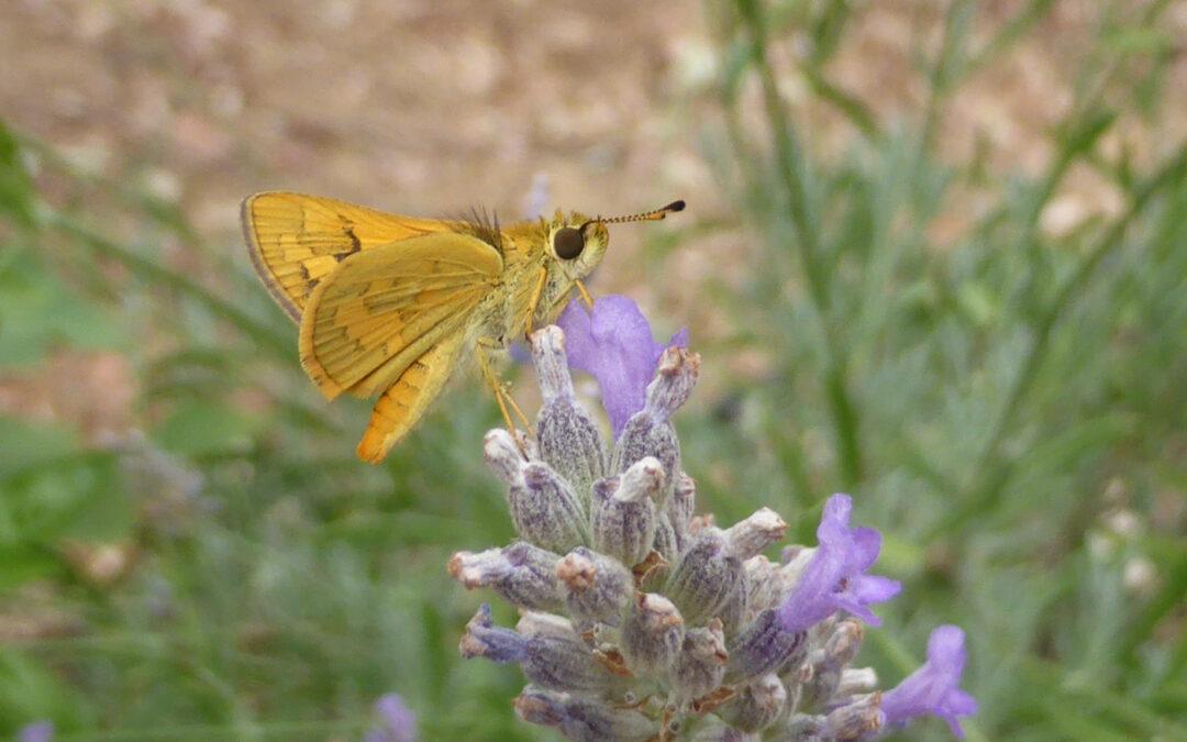 Wild Pollinator Count 8th-15th Nov
