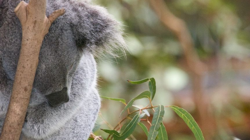 Drones count koalas faster and cheaper than manual spotting methods: study