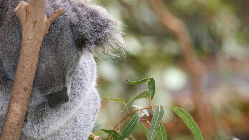 koala-count